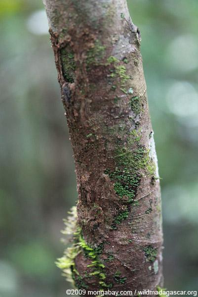 Photos de branches... - Page 2 Madagascar_0700