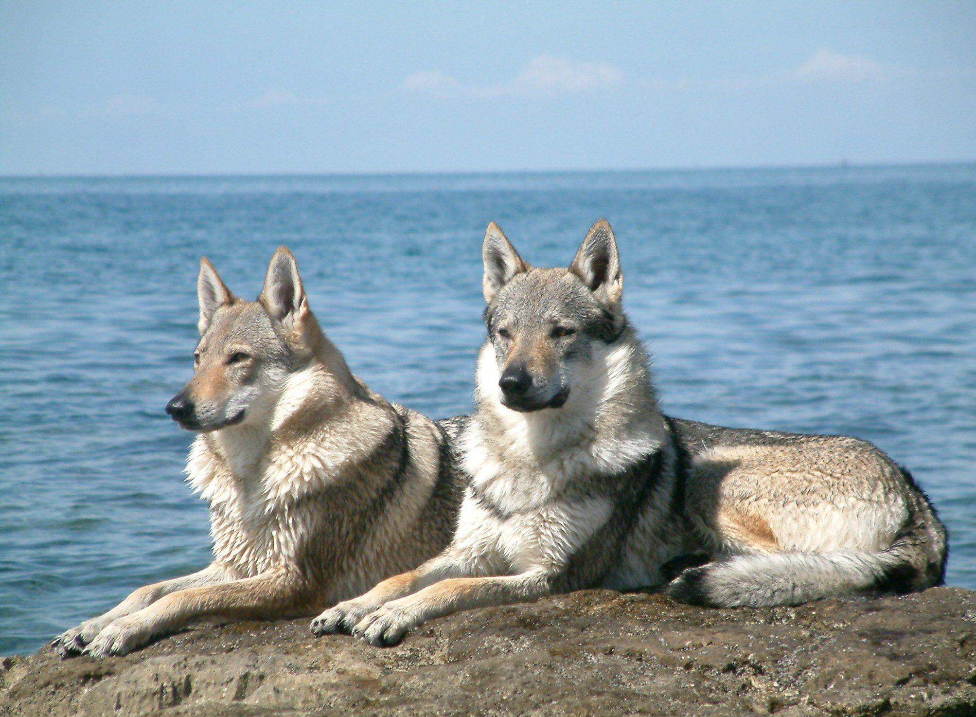 [Sondage] Top 10 des chiens les plus impressionants 7b61f295