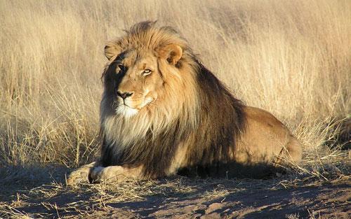 صحح معلوماتك ،، معلومات خاطئة تهمك ،،  African_lion2
