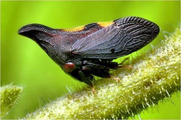 que suis je Martin 18 janvier trouvé par Ajonc - Page 2 Insecte-Thorn-2bis