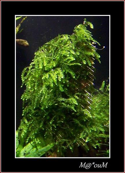Fan de mousses aquatiques [Liste et photos] 100_1633_GF