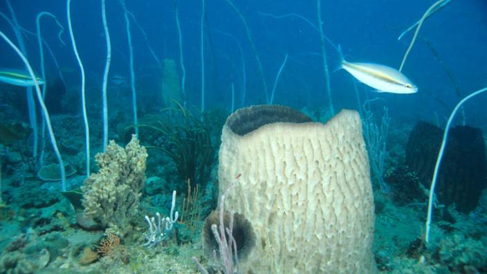 qu'est ce Martin du 6 décembre trouvé par Ajonc Porifera-sarcotragus-sp_1