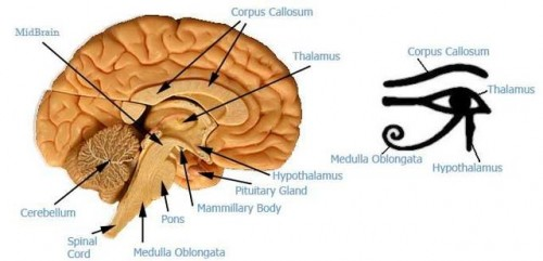 The United States of the Solar System, A.D. 2133 (Book Six) - Page 2 Eye_of_horus_thalamus_brain-500x241
