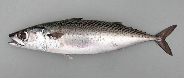 Escrito La Pesca del Tiburón con Carnadas por José Manuel López Pinto / Actualizado al 20 de Octubre del 2011 20211