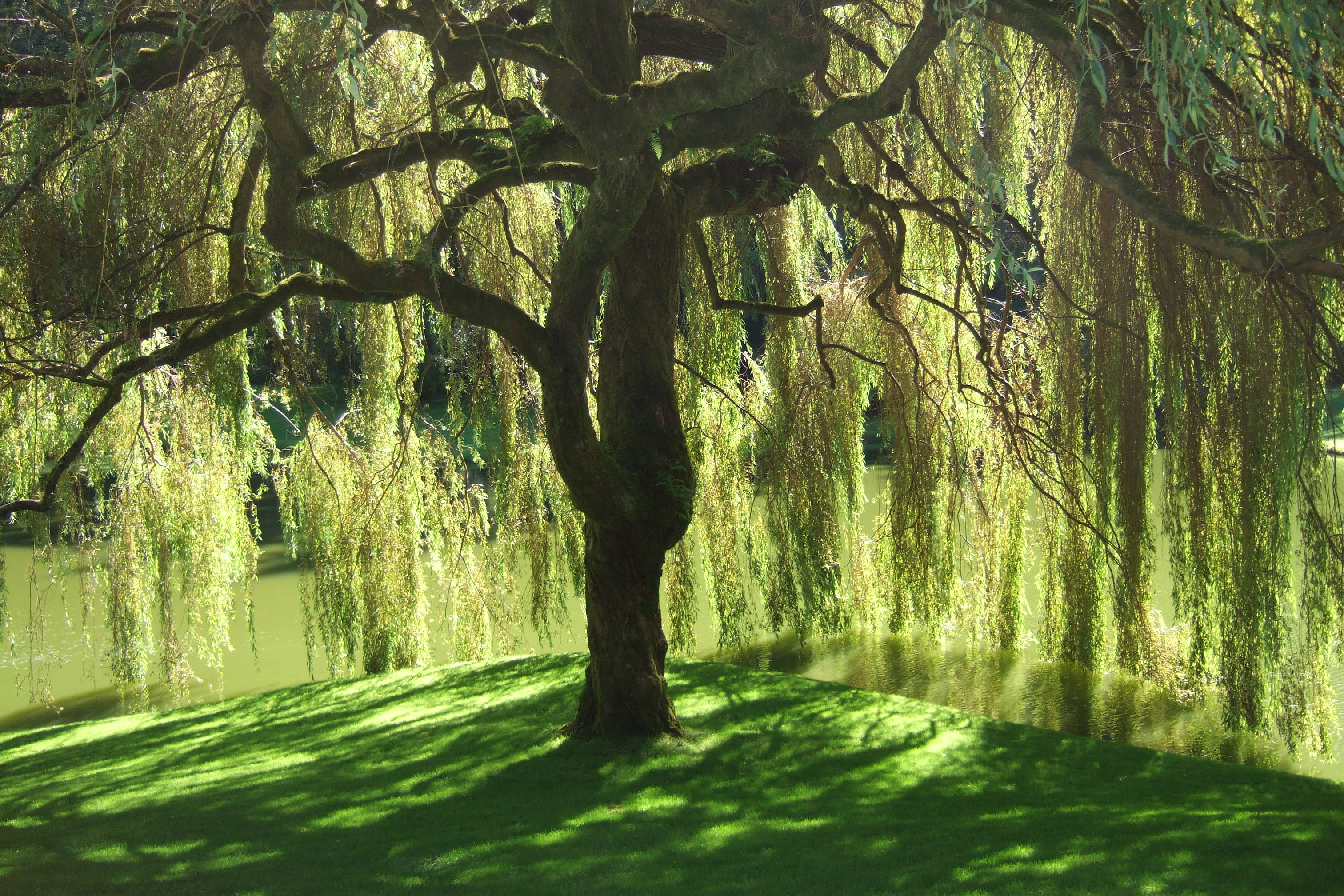 Meditation & Intuition Bloedel_reserve_willow_tree