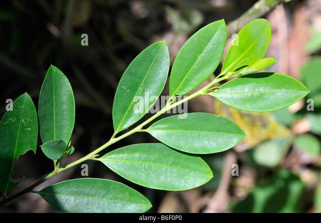 [Jeu] Association d'images - Page 3 Coca-leaves-bolivia-south-america-b6f0p0