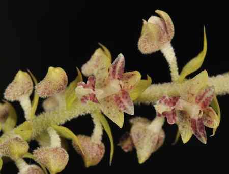 HOA GIEO TỨ TUYỆT - Page 44 Eria-paniculata-Lindl-Mycaranthes-floribunda-D.Don_