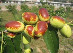 Экзотические фрукты ( фото, название, описание ). Jujuba