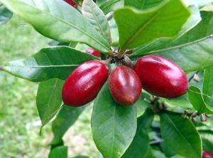 Экзотические фрукты ( фото, название, описание ). Magic