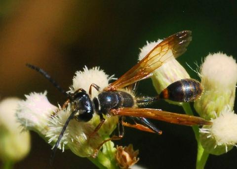 Bộ sưu tập côn trùng 2 - Page 3 Iso%20ele%20bnm%20023