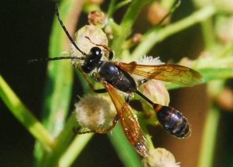 Bộ sưu tập côn trùng 2 - Page 3 Iso%20ele%20bnm%20024