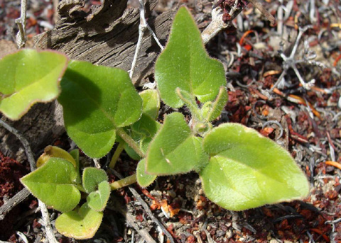 VƯỜN CÂY ĐV II Tetragonia%20tetragonioides2