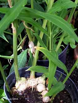 Liste de plantes pour les soins Nmauric_zingiber_officinale