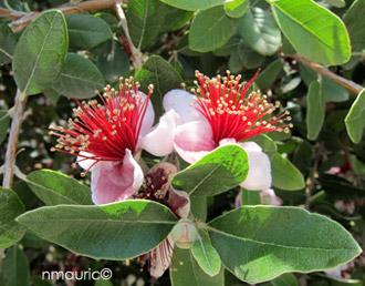 l'arbre fruitier de blucat  trouvé par Martin Rg_acca_sellowiana