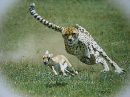 Incroyables animaux ! T-Gu_pard_en_chasse