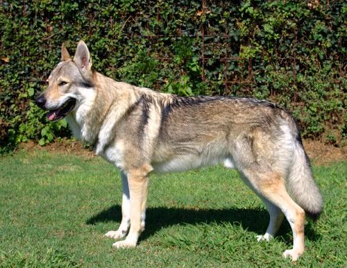 ЧЕХОСЛОВАЦКАЯ ВОЛЧЬЯ СОБАКА  Czechoslovakian_wolfdog_01