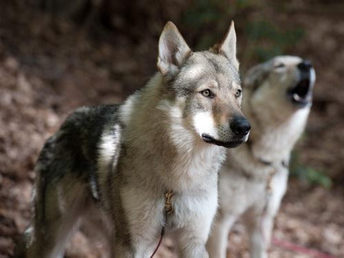 ЧЕХОСЛОВАЦКАЯ ВОЛЧЬЯ СОБАКА  Czechoslovakian_wolfdog_03