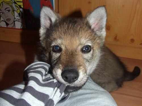 ЧЕХОСЛОВАЦКАЯ ВОЛЧЬЯ СОБАКА  Czechoslovakian_wolfdog_06