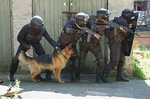 Породы собак: зачем так много? German_shepherd_05
