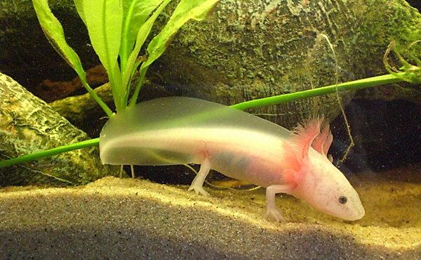 Аксолотль и амбистома Axolotl_02