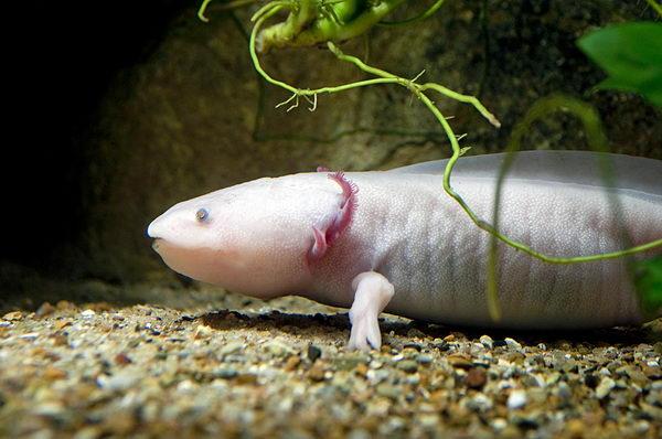 Аксолотль и амбистома Axolotl_03