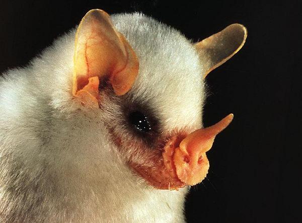 Белая летучая мышь (Ectophylla alba) White_bat_01