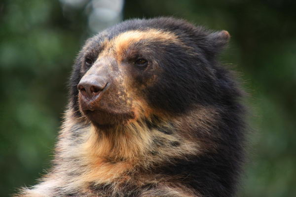 Медведь очковый (Tremarctos ornatus) Oculus_bear_01