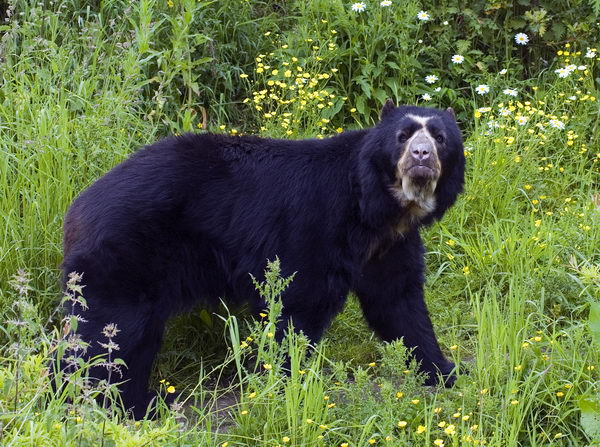 Медведь очковый (Tremarctos ornatus) Oculus_bear_02