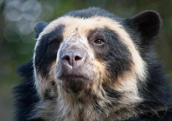 Медведь очковый (Tremarctos ornatus) Oculus_bear_03