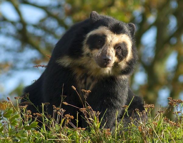 Медведь очковый (Tremarctos ornatus) Oculus_bear_04