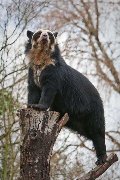 Медведь очковый (Tremarctos ornatus) Oculus_bear_05