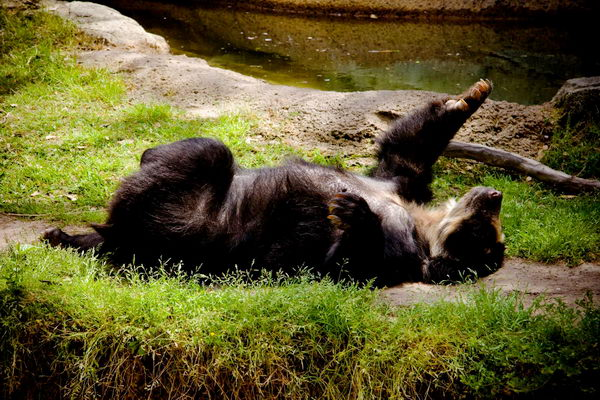 Медведь очковый (Tremarctos ornatus) Oculus_bear_06