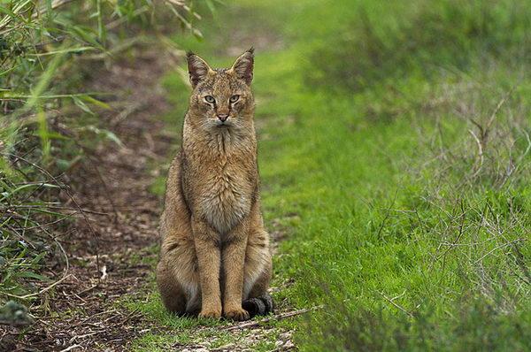 Камышовый кот, Хаус, или Болотная рысь  Felis_chaus_02