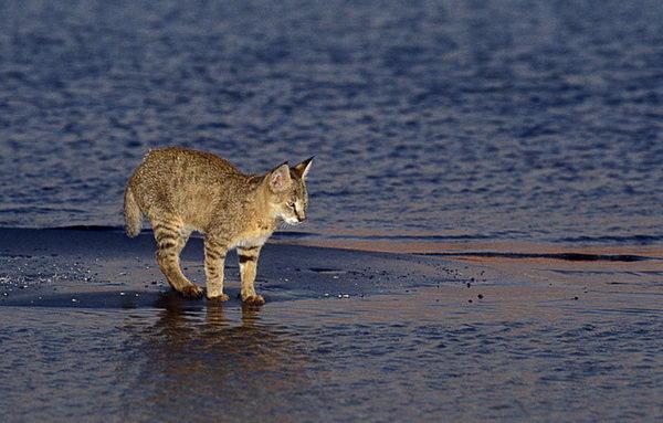 Камышовый кот, Хаус, или Болотная рысь  Felis_chaus_04