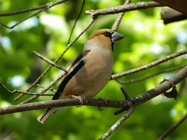 Дубоносы – молчаливые птицы-невидимки Dubonos_invisible_00
