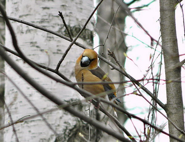 Дубоносы – молчаливые птицы-невидимки Dubonos_invisible_04