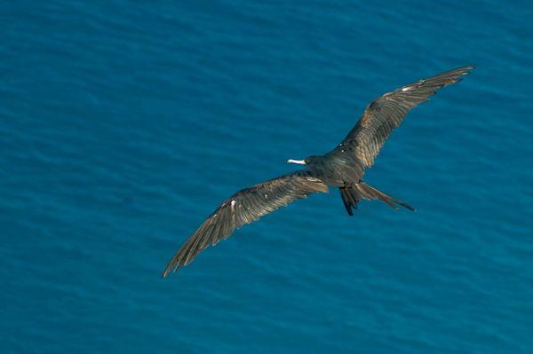 Птицы фрегаты Fregata_minor_02