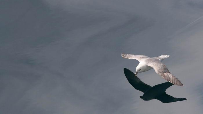 Птица Глупыш – (Fulmarus) Fulmarus_glacialis_01