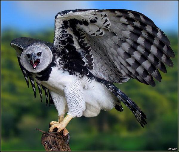 Гарпия (Harpia harpyja) – отнюдь не мифическая птица Harpia_02