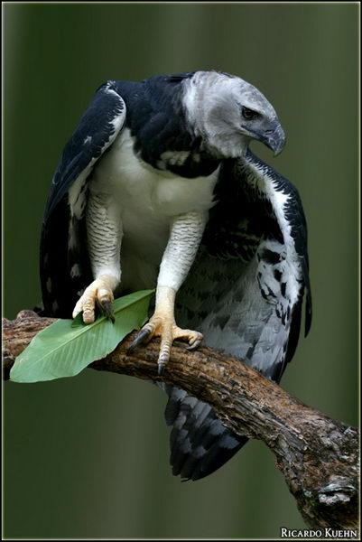 Гарпия (Harpia harpyja) – отнюдь не мифическая птица Harpia_04