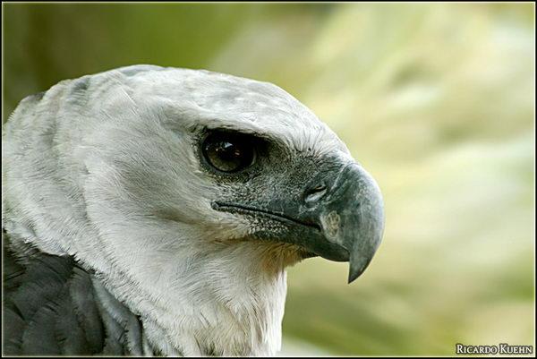 Гарпия (Harpia harpyja) – отнюдь не мифическая птица Harpia_05