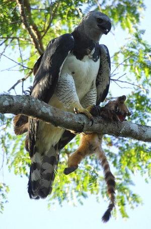 Гарпия (Harpia harpyja) – отнюдь не мифическая птица Harpia_06
