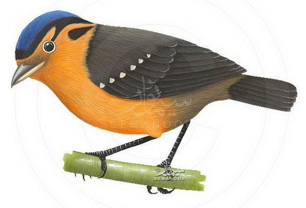 Ифрита ковальди (Ifrita kowaldi) – ядовитая птица Ifrita_kowaldi_02