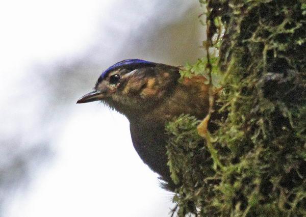 Ифрита ковальди (Ifrita kowaldi) – ядовитая птица Ifrita_kowaldi_03