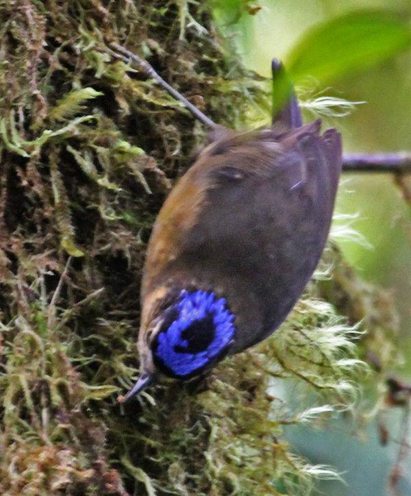 Ифрита ковальди (Ifrita kowaldi) – ядовитая птица Ifrita_kowaldi_05