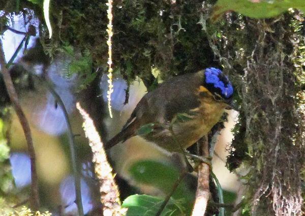 Ифрита ковальди (Ifrita kowaldi) – ядовитая птица Ifrita_kowaldi_06