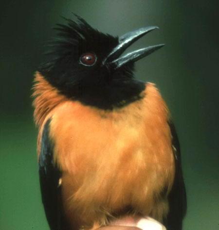 Питоху двуцветный, или дроздовая мухоловка Pitohui_dichrous_07