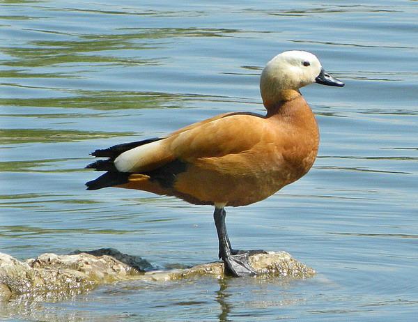 Огарь - красная утка (Tadorna ferruginea) Red_duck_01