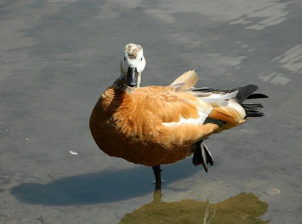 Огарь - красная утка (Tadorna ferruginea) Red_duck_02
