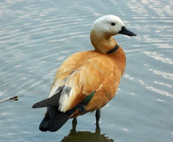 Огарь - красная утка (Tadorna ferruginea) Red_duck_03